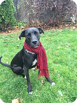 Labrador Retriever/Patterdale Terrier (Fell Terrier) Mix Dog for adoption in St. Catharines, Ontario - She-Ra