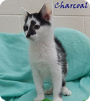 Domestic Shorthair Kitten for adoption in Bucyrus, Ohio - Charcoal