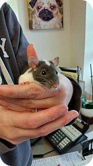Rat for adoption in Chambersburg, Pennsylvania - Pepe