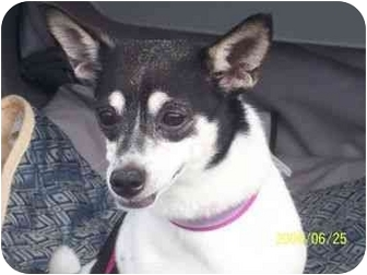 Chihuahua Mix Dog for adoption in Long Beach, New York - Zoe