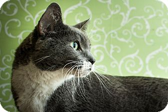 Domestic Shorthair Cat for adoption in Red Wing, Minnesota - Bugs