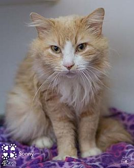 Maine Coon Cat for adoption in Merrifield, Virginia - Sonny