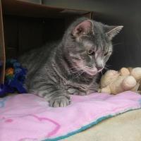 Adopt A Pet :: Miss Kitty - Canastota, NY