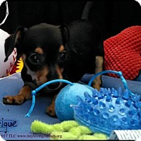Adopt A Pet :: Intrigue - Simi Valley, CA