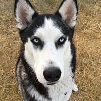 Adopt A Pet :: MIKKO - Apache Junction, AZ
