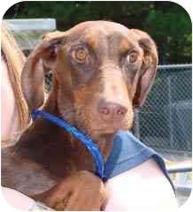 Doberman Pinscher Mix Puppy for adoption in Hammonton, New Jersey - Twiggy