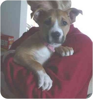 Boxer/Pit Bull Terrier Mix Puppy for adoption in Bay City, Michigan - Blossom