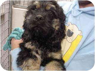 Cocker Spaniel Mix Puppy for adoption in Marshalltown, Iowa - Alvin