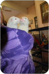 Ferret for adoption in Honesdale, Pennsylvania - Helen & Paris