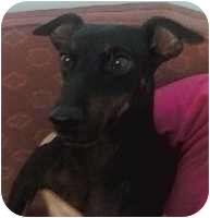 Miniature Pinscher Dog for adoption in Columbus, Ohio - Rocky