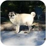 Pug Dog for adoption in Windermere, Florida - Harley