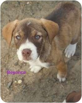 Labrador Retriever/Hound (Unknown Type) Mix Puppy for adoption in Hammonton, New Jersey - beyonce & coco chanel