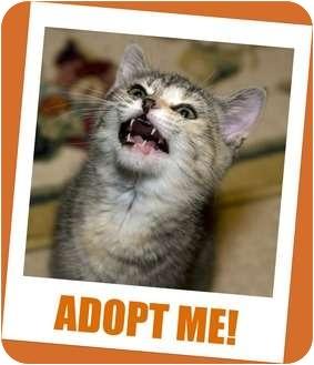 Domestic Shorthair Kitten for adoption in Cincinnati, Ohio - Paris