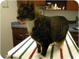 Domestic Shorthair Cat for adoption in Gainesville, Florida - Booker