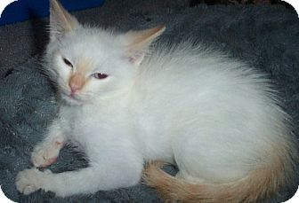Siamese Kitten for adoption in Columbia, South Carolina - Snowball