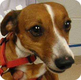 Jack Russell Terrier/Parson Russell Terrier Mix Dog for adoption in Guelph, Ontario - Butters