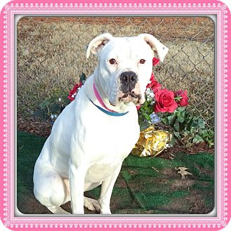 Boxer Dog for adoption in Marietta, Georgia - MONA (R)