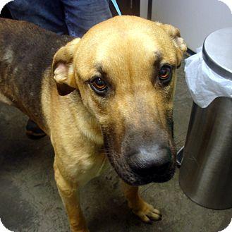 Great Dane/Shepherd (Unknown Type) Mix Dog for adoption in Manassas, Virginia - Donovan