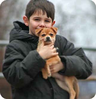 Chihuahua Puppy for adoption in Spring City, Pennsylvania - Plato