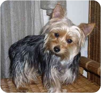Yorkie, Yorkshire Terrier Dog for adoption in Statewide and National, Texas - Armani