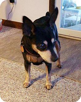 Miniature Pinscher Dog for adoption in Hillsboro, Illinois - Molly