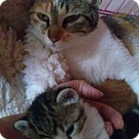Adopt A Pet :: Miss Kitty - KANSAS, MO