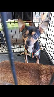 Chihuahua Mix Dog for adoption in Columbia, Tennessee - Cleveland/TN