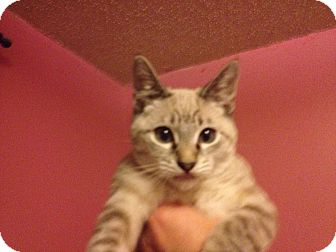 Siamese Kitten for adoption in Santa Rosa, California - Zorro