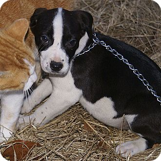 Border Collie/Pointer Mix Puppy for adoption in Spring Valley, New York - Madi