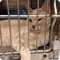 Domestic Shorthair Cat for adoption in Muncie, Indiana - Daniel