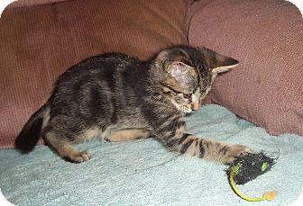 Domestic Shorthair Kitten for adoption in Statesville, North Carolina - Keisha