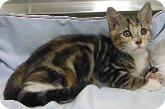 Domestic Shorthair Kitten for adoption in Cedartown, Georgia - 28261642