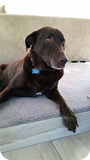 Labrador Retriever Dog for adoption in Phoenix, Arizona - Boss