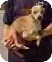 Chihuahua Mix Dog for adoption in Vincennes, Indiana - WILLOW