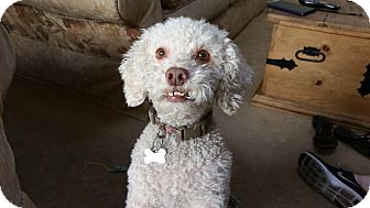 Poodle (Miniature)/Bichon Frise Mix Dog for adoption in Los Angeles, California - Freddie