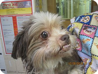 Poodle (Miniature)/Shih Tzu Mix Dog for adoption in Rockville, Maryland - Gracie
