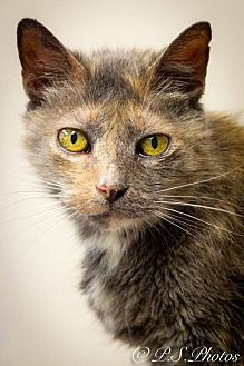 Calico Cat for adoption in Belton, Missouri - Brielle