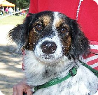 English Setter Mix Dog for adoption in Lafayette, Louisiana - Belle