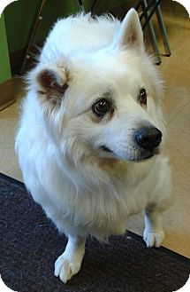 American Eskimo Dog Mix Dog for adoption in St. Louis, Missouri - AJAX