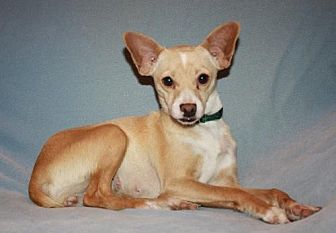 Rat Terrier/Chihuahua Mix Dog for adoption in Modesto, California - Chloe