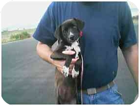 Chihuahua/Jack Russell Terrier Mix Puppy for adoption in Provo, Utah - TRINA