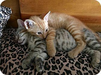 American Shorthair Kitten for adoption in Brooklyn, New York - Penny Lane & Sgt. Pepper