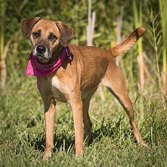 Hound (Unknown Type) Mix Dog for adoption in Columbia, Illinois - Etta