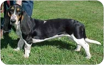 Basset Hound Mix Dog for adoption in North Judson, Indiana - Jonah