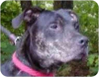 American Pit Bull Terrier Mix Dog for adoption in Eatontown, New Jersey - Brick