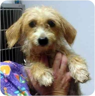 Poodle (Toy or Tea Cup)/Terrier (Unknown Type, Small) Mix Dog for adoption in Manassas, Virginia - Silk
