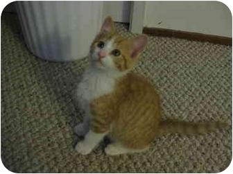 Domestic Shorthair Kitten for adoption in Davis, California - Frankie