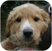 Golden Retriever Mix Puppy for adoption in Foster, Rhode Island - Toby