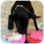 Photo 3 - Labrador Retriever/Retriever (Unknown Type) Mix Puppy for adoption in Broomfield, Colorado - Clarabella