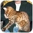 Photo 1 - Bengal Cat for adoption in Los Angeles, California - Roo